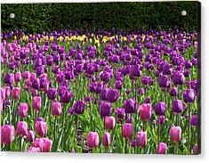 Various Tulip Flowers In A Garden Acrylic Print by Panoramic Images