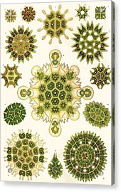 Varities Of Pediastrum From Kunstformen Der Natur Acrylic Print by Ernst Haeckel