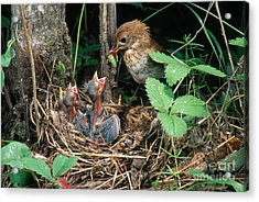 Veery At Nest Acrylic Print by Anthony Mercieca