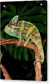 Veiled Chameleon, Chamaeleo Acrylic Print by David Northcott