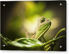 Veiled Chameleon Is Watching You Acrylic Print