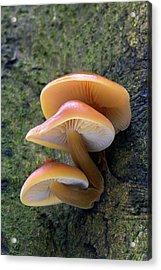 Velvet Shank Fungus Acrylic Print by Simon Booth/science Photo Library
