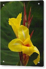 Velvety Yellow Iris  Acrylic Print