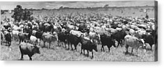 Venezuela Cattle Round-up  Acrylic Print by Retro Images Archive