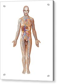 Venous System Acrylic Print by Asklepios Medical Atlas