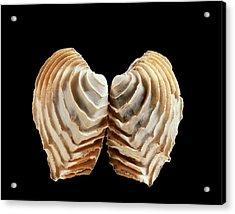 Venus Clam Shell Acrylic Print by Gilles Mermet