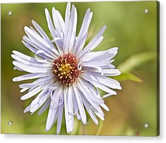 Vermont Aster Acrylic Print