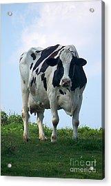 Vermont Dairy Cow Acrylic Print
