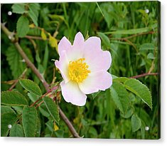 Vert Jaune Rose Acrylic Print