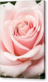 Vertical Pink Rose Acrylic Print