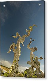 Vertical Tree Roots In Upper Geyser Acrylic Print by Howie Garber