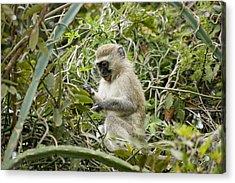 Vervet Monkey Acrylic Print by Brian Kamprath
