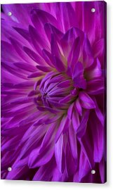 Very Pink Dahlia Acrylic Print by Garry Gay