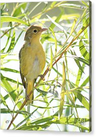 Acrylic Print featuring the photograph Very Yellow Warbler by Anita Oakley