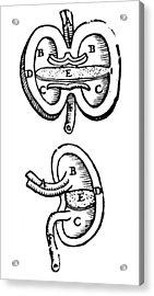 Vesalius: Kidneys, 1543 Acrylic Print