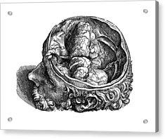 Vesalius: Olfactory Organs Acrylic Print