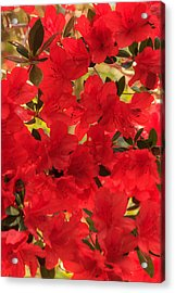 Acrylic Print featuring the photograph Vibrant Azalea by Patricia Schaefer