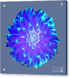 Vibrant Blue And Purple Dahlia On Grey Acrylic Print by Rosemary Calvert