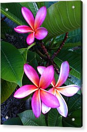 Vibrant Plumeria Acrylic Print