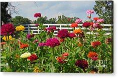 Vibrant Zinnia Garden Acrylic Print by Charlotte Gray