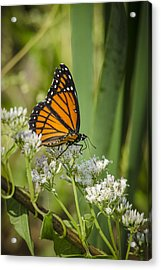Acrylic Print featuring the photograph Viceroy 2 by Bradley Clay