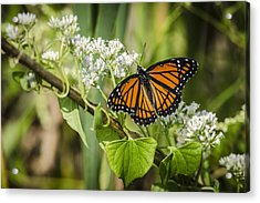 Viceroy Butterfly Acrylic Print by Bradley Clay
