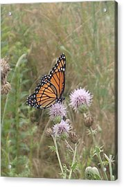 Acrylic Print featuring the photograph Viceroy On Thistle by Robert Nickologianis
