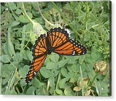 Acrylic Print featuring the photograph Viceroy by Robert Nickologianis