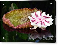 Victoria Amazonica Acrylic Print