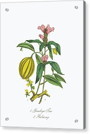 Victorian Botanical Illustration Of Acrylic Print by Bauhaus1000
