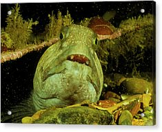View Of A Wolf Fish Acrylic Print by Rudiger Lehnen/science Photo Library