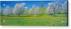 View Of Blossoms On Cherry Trees, Zug Acrylic Print