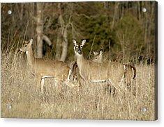 Vigilant White-tailed Deer Acrylic Print