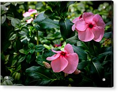 Vinca Rosea Singapore Flower Acrylic Print by Donald Chen