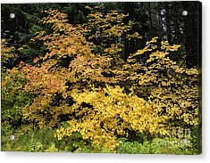 Vine Maple Glory Acrylic Print