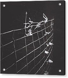 Vine On A Fence Acrylic Print