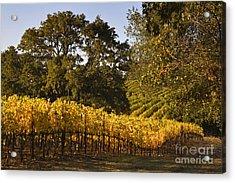 Vines And Oaks Alexander Valley Acrylic Print