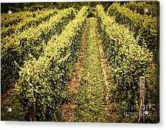 Vines Growing In Vineyard Acrylic Print by Elena Elisseeva