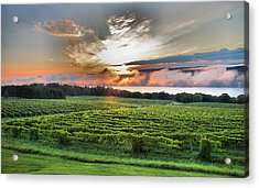 Vineyard At Sunrise Acrylic Print by Steven Ainsworth