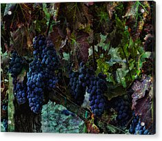 Acrylic Print featuring the photograph Vineyard Grapes On Vine Number Three by Bob Coates