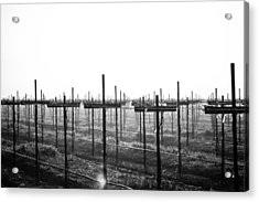 Vineyard In Fog Acrylic Print
