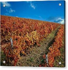 Vineyard In Negotin. Serbia Acrylic Print by Juan Carlos Ferro Duque