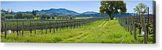 Vineyard In Sonoma Valley, California Acrylic Print