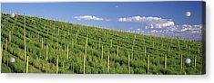 Vineyard, Napa County, California, Usa Acrylic Print by Panoramic Images