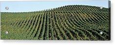 Vineyard, Napa Valley, Napa County Acrylic Print by Panoramic Images