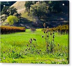 Vineyard Thistles Acrylic Print by CML Brown