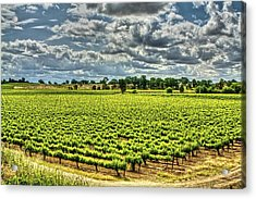 Vineyards Almost Ripe Acrylic Print