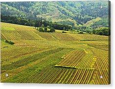 Vineyards Below Zellenberg France 1 Acrylic Print by Greg Matchick