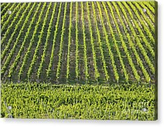 Vineyards In Chianti Region Acrylic Print