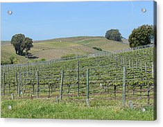 Vineyards In Napa Valley California Acrylic Print